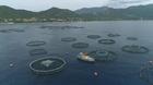 Poissons d'élevage regrettent-ils la mer ? (Les)